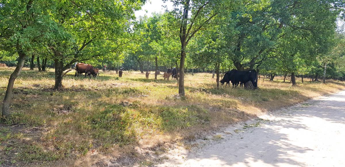 Grazende runderen op het Trekvogelpad - HappyHikers