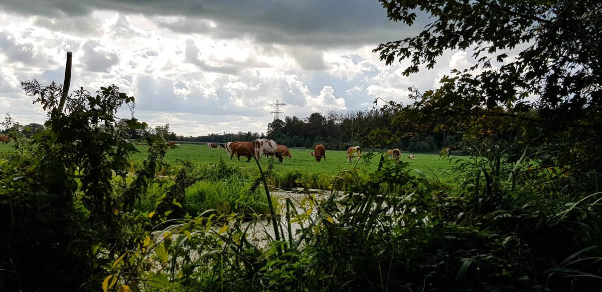 Koeien in de wei - de Horsten - HappyHikers
