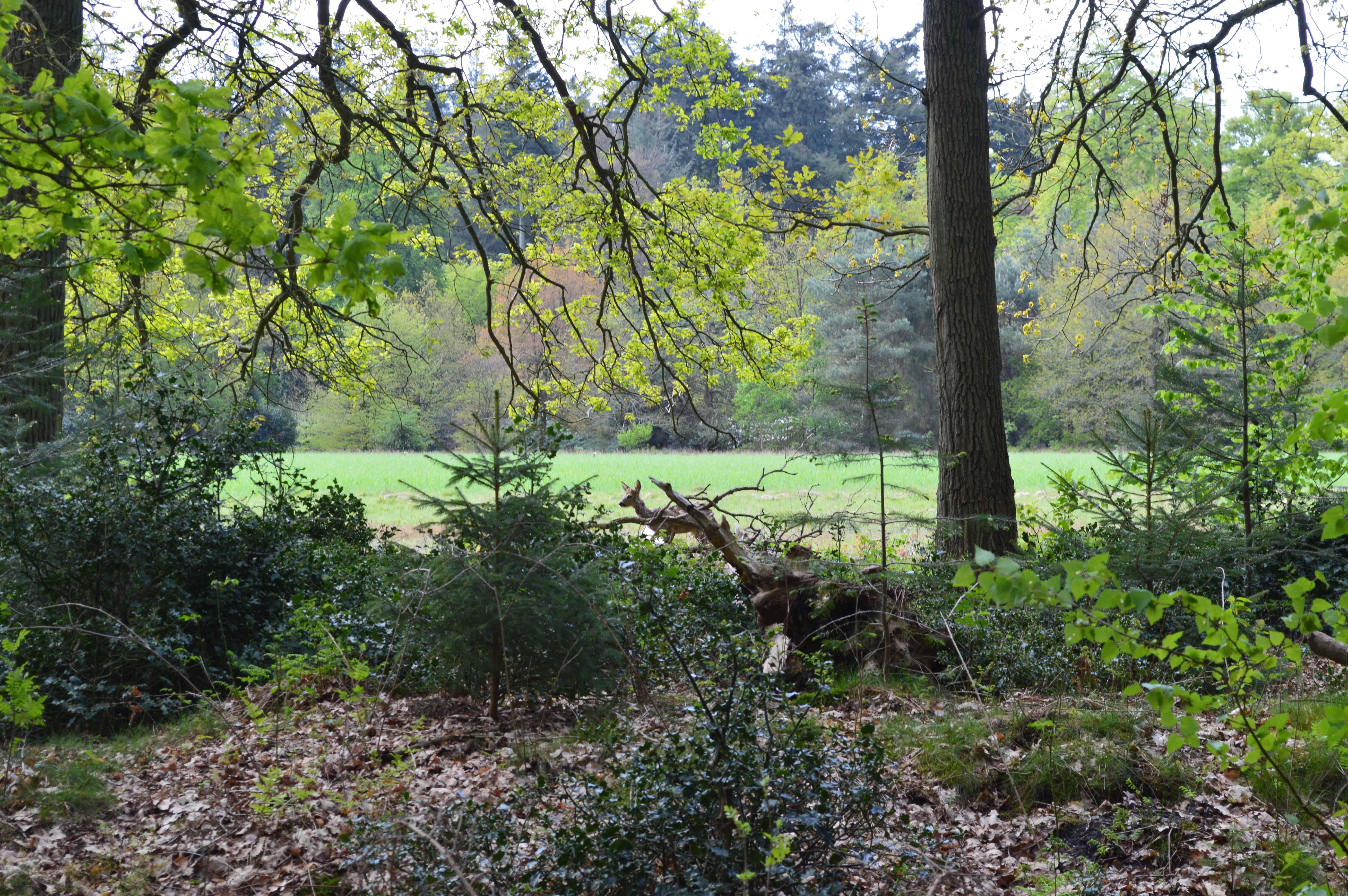 Een Hert - Paleispark het Loo - Happy Hikers