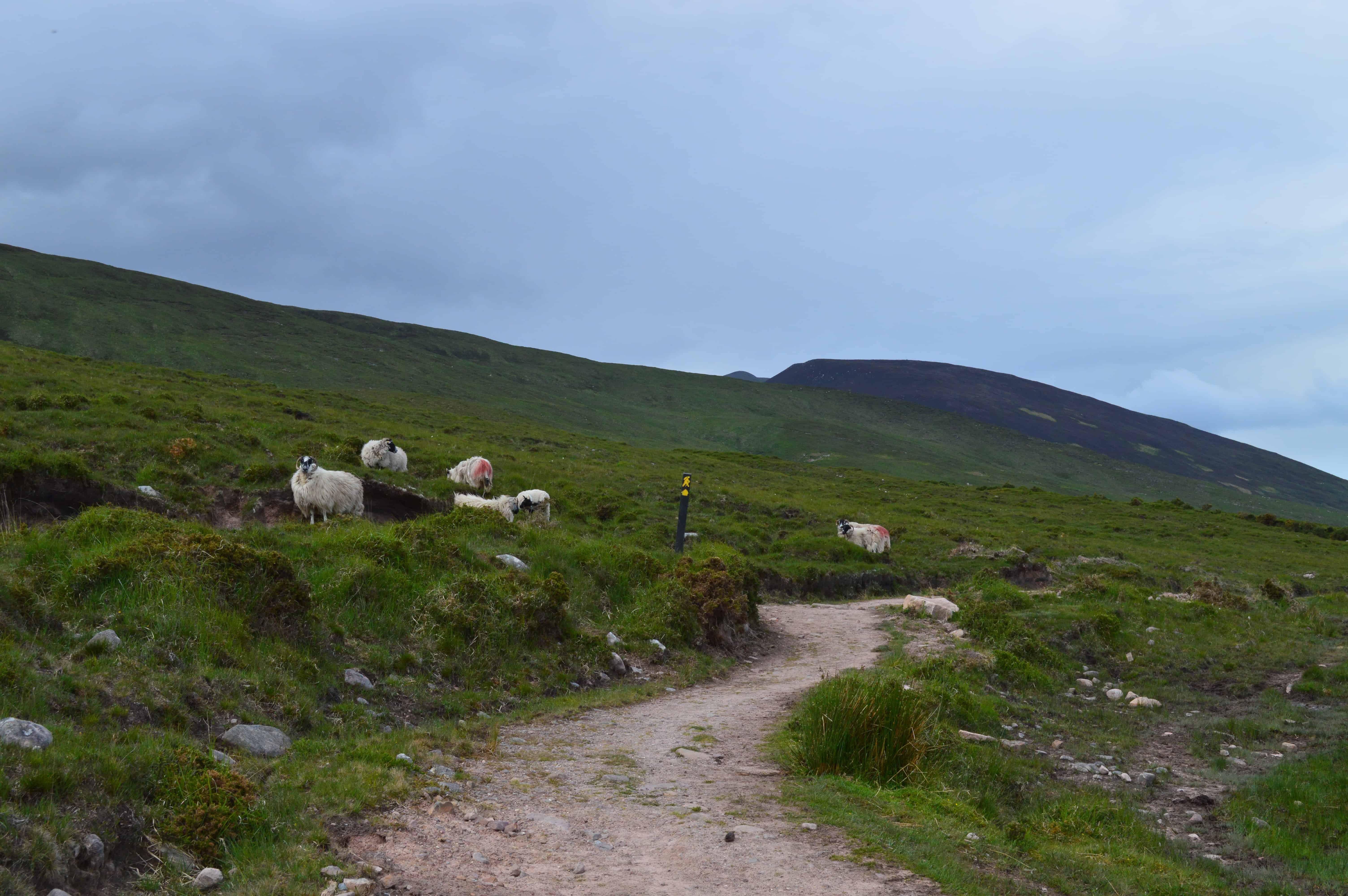 Offroad en schapen - de Dingleway - HappyHikers