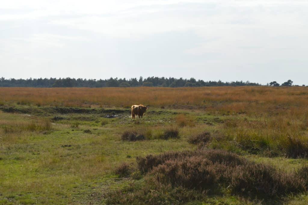 Een Schotse Hooglander -Deelerwoud - HappyHikers